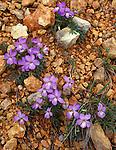 Hobbs Wildlife Management Area, AR<br /> Bird-floor violet (Viola pedata) on red gravel
