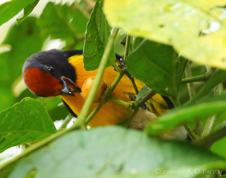 Tawny-capped euphonia eating a berry