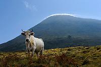 Kuh vor Pico Alto auf der Insel Pico, Azoren, Portugal