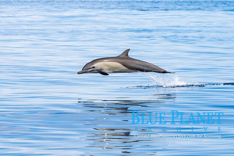 short-beaked common dolphin, Delphinus delphis, porpoising, jumping, Drake Bay, Costa Rica, Pacific Ocean