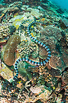 Verde Island, Oriental Mindoro, Philippines; a banded sea snake hunting amongst the corals on the reef