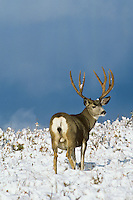 Mule deer buck (Odocoileus hemionus).  Northern Rockies, November.
