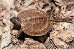 Wood turtle hatchling resting on fallen log over stream.