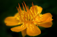Close up of Golden Queen Globe Flower ()Trollius chinensis). Oregon