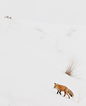 An individual red fox is seen making its way along a snowy hillside in Yellowstone National Park.