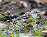 Male yellow-rumped warbler, myrtle type, molting to breeding plumage on March 26.