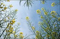 Honeybee and yellow rapeseed flowers, China.