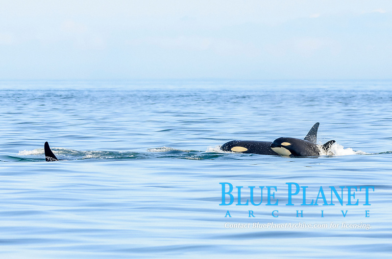 """killer whale, or orca, Orcinus orca, southern resident orca, with calf, J-Pod, Orca orcinus, J51 """"Nova"""", and his mom, J41 """"Eclipse"""" and grandmother, J-19 """"Shachi"""", Salish Sea, British Columbia, Canada, Pacific Ocean"""