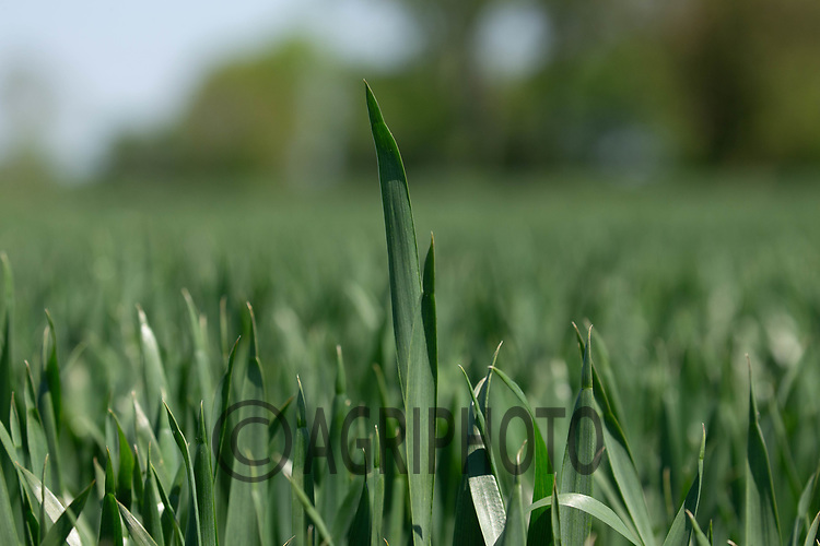 29-5-2021 Winter wheat<br /> ©Tim Scrivener Photographer 07850 303986<br />      ....Covering Agriculture In The UK....