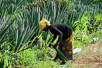 TANZANIA Tanga, Usambara Mountains, Sisal farming and industry, D.D. Ruhinda & Company Ltd., Mkumbara Sisal estate, farm worker harvest Sisal leaves / TANSANIA Tanga, Usambara Berge, Sisal Anbau und Industrie, D.D. Ruhinda & Company Ltd., Mkumbara Sisal Estate, Landarbeiter bei Ernte der Sisal Blaetter, Arbeiterin Nuru Waziri