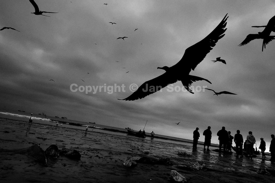 Seagulls fly over the heads of dead sharks thrown away on the beach of Manta, Ecuador, 14 September 2012. Every morning, hundreds of shark bodies and thousands of shark fins are sold on the Pacific coast of Ecuador. Although the targeted shark fishing remains illegal, the presidential decree allows free trade of shark fins from accidental by-catch. However, most of the shark species fished in Ecuadorean waters are considered as ?vulnerable to extinction? by the World Conservation Union (IUCN). Although fishing sharks barely sustain the livelihoods of many poor fishermen on Ecuadorean at the end of the shark fins business chain in Hong Kong they are sold as the most expensive seafood item in the world. The shark fins are primarily exported to China where the shark's fin soup is believed to boost sexual potency and increase vitality. Rapid economic growth across Asia in recent years has dramatically increased demand for the shark fins and has put many shark species populations on the road to extinction.