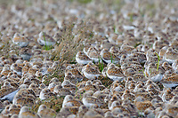 Western Sandpipers (Calidris mauri) and Dunlin (Calidris alpina) roosing during spring migration. Gray's Harbor County, Washington. April.