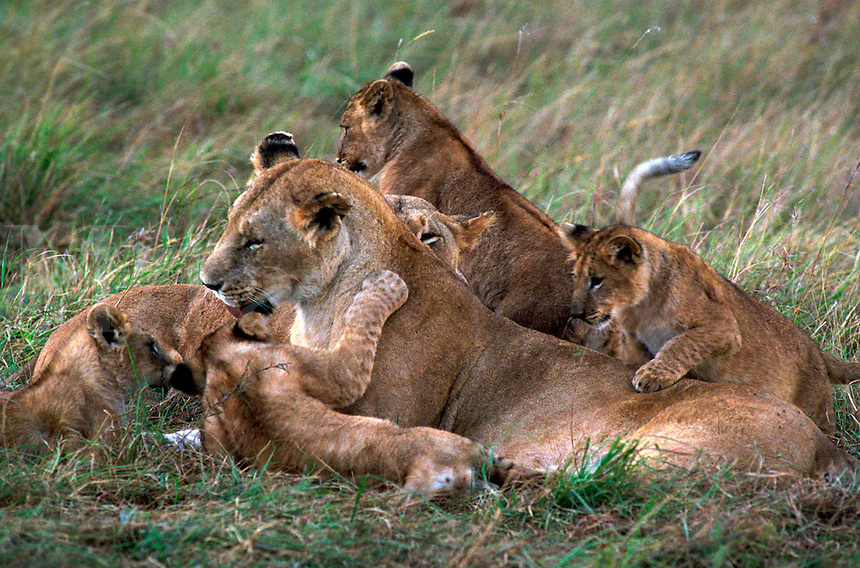 African, wild animal. Lioness with cubs romp on the Masai Mara, Kenya. Masai Mara, Kenya.