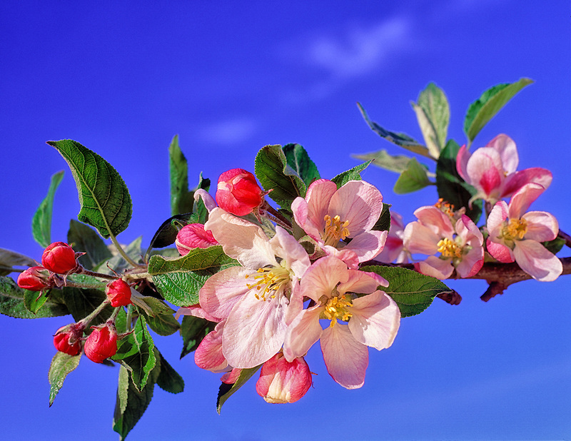 V00331M.tif   Blossoms from Red Delicious apple tree. Near Alpine, Oregon