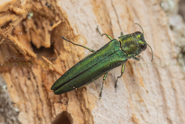 An adult Emerald Ash Borer (Agrilus planipennis) shortly after emergence from an infested ash tree.