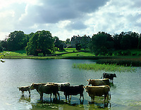 A small herd of cattle cool down in the waters of the lake looking over to Castle Leslie beyond