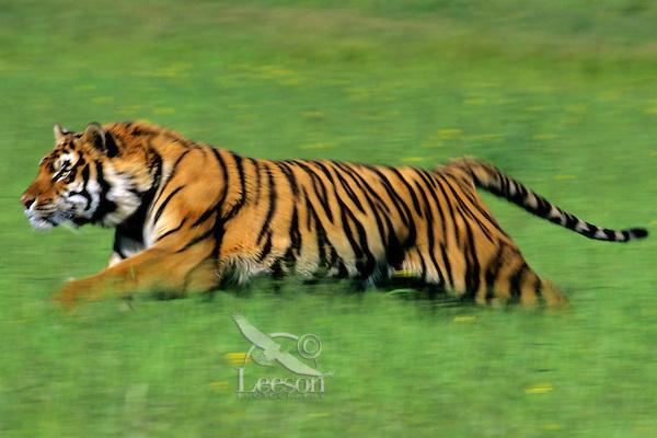 Bengal Tiger (Panthera tigris tigris) running through grass.