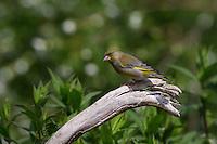 Grünfink, Grünling, Grün-Fink, Chloris chloris, Carduelis chloris, greenfinch, Verdier d'Europe
