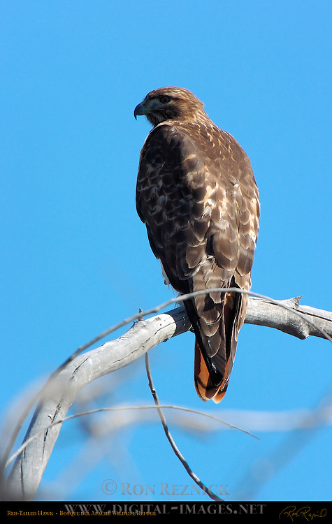 Red-tailed Hawk, Bosque del Apache Wildlife Refuge, New Mexico