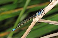 Große Pechlibelle, Pech-Libelle, Ischnura elegans, common ischnura, blue-tailed damselfly, Common Bluetail, Agrion élégant