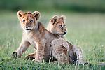 African Lion cubs (Panthera leo) playing - around 4 months old - Big Marsh, near Ndutu, Nogorongoro Conservation Area / Serengeti National Park, Tanzania.