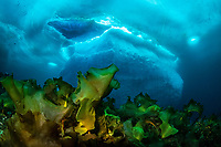sugar kelp, sea belt, or Devil's apron, Saccharina latissima, in front of an iceberg, Tasiilaq, Greenland, North Atlantic Ocean