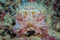 Smith's Cuttlefish, Sepia smithi, Com Pier, Com, Timor Leste or East Timor, Strait of Wetar, Sawu Sea, Indian Ocean