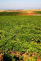 Vineyard. Domaine Gerovassiliou, Epanomi, Macedonia, Greece.