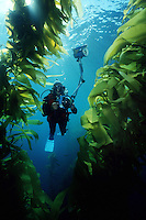 Diver explores and photographs the beauty of a forest of Giant kelp, Macrocystis pyrifera, California, Pacific Ocean