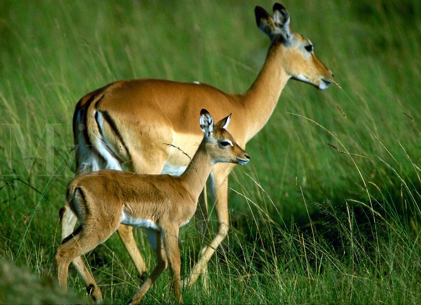 African, wild animal. A female mother impala walks closely guarding her young offspring. Masai Mara, Kenya Masai Mara Plains.