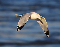 Ring-billed gull in nonbreeding plumage