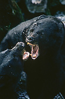 Black Bears (Ursus americanus) fighting--mostly snapping jaws and growling--over fishing spot.  S.E.  Alaska.  Summer.
