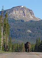 A bison walks down Highway 212 toward Yellowstone National Park's northeast entrance.