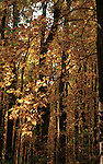 Yellow autumn leaves in forest Skyline Drive Commonwealth of Virginia,  Fine Art Photography, photographs fulfill a creative vision of the artist fine art photography, buy art, Bennett, limited edition print, buy fine art, travel photography, photo art, prints, fine art, Fine Art Photography by Ron Bennett, Fine Art, Fine Art photography, Art Photography, Copyright RonBennettPhotography.com © Fine Art Photography by Ron Bennett, Fine Art, Fine Art photography, Art Photography, Copyright RonBennettPhotography.com ©