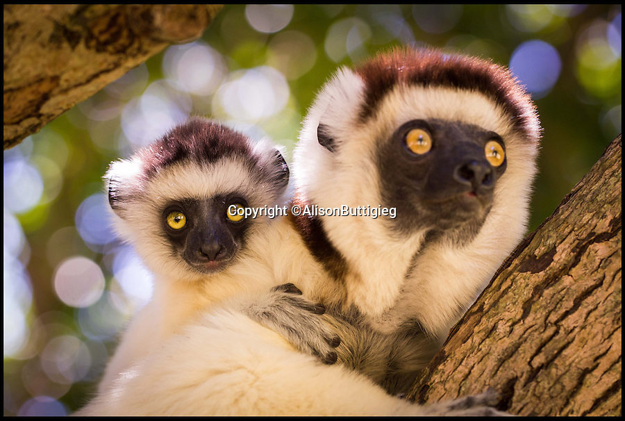 "BNPS.co.uk (01202 558833)<br /> Pic: AlisonButtigieg/BNPS<br /> <br /> ***Pleae Use Full Byline***<br /> <br /> A Verreaux Sifaka, who habitats in Madagascar.<br /> <br /> With video. <br /> <br /> verreaux's sifaka<br /> <br /> This is the hilarious moment a group of lemurs scrambled down a tree and burst into a fantastic dance display.<br /> <br /> The primates had been eating berries from the top of the tall bark when they decided to cross a dirt road to a cluster of other trees.<br /> <br /> As they landed on the ground each one burst into an array of impressive dance moves, including twirls, jumps, spins and stretches.<br /> <br /> They boogied their way across the track without stopping and even performed a few acrobatic stunts.<br /> <br /> The elaborate routine only stopped when they reached another trunk and scrambled up to the top.<br /> <br /> The whole thing was captured on camera by Allison Buttigieg, who was watching the lemurs' antics with her boyfriend, Olli Teirila.<br /> <br /> The couple were enjoying a holiday on the island of Madagascar in the hope of photographing the dancing, made famous by the animated DreamWorks film.<br /> <br /> Allison, 34, from Helsinki in Finland, said: ""Part of the reason I wanted to go to Madagascar is because they have lemurs there that look like they are dancing.<br /> <br /> ""We went to a spot where there were a group of them up in the trees and waited for many hours for them to move.<br /> <br /> ""Normally they jump from tree to tree but they had to cross a dirt road, so we were waiting for them to do that.<br /> <br /> ""Eventually they came down from the trees and started doing their little dance.<br /> <br /> ""They are adapted to the trees and they can't crawl so this is why they do it.<br /> <br /> ""I had seen them doing it on documentaries before and I had always said I wanted to go and see them for myself and take photos.<br /> <br /> ""It was very amusing and looked so funny, taking pictures was hard because I couldn't help but stop and just look at them as they did it.<br /> <br /> ""I was ecstatic to get the photos as that was one of the main things I wanted to do, I was really happy."""
