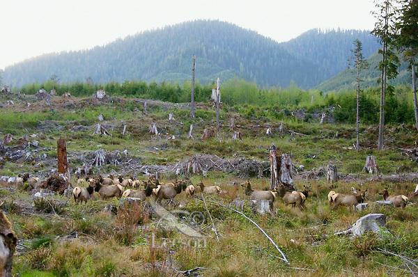 Roosevelt Elk herd in clearcut logged area.  Pacific Northwest.