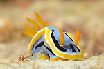 Anna's Chromodoris , Chromodoris annae, dorid nudibranch, Anilao