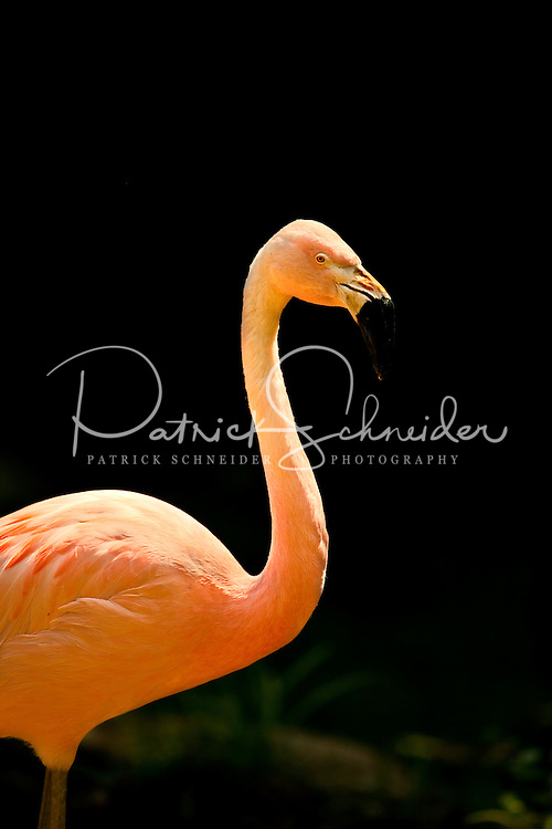 A flamingo (genius phoenicopterus and family phoenicopteridae) glows brightly at The North Carolina Zoo, located in the town of Asheboro, North Carolina. The North Carolina Zoo, located about 70 miles west of Raleigh and about 90 miles from Charlotte, is one of the largest natural habitat zoos in the United States that allows visitors to walk through its grounds. One of only two state-supported zoos in the country, the NC Zoo was the first American zoo to incorporate the natural habitat philosophy, which presents animals and plants together in exhibits that resemble the natural habits of these creatures in the wild. The North Carolina Zoological Park features animals from Africa and North America. The 1,500-acre  zoo is located atop Purgatory Mountain, which is part of the Uwharrie Mountains in central North Carolina.