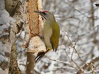 Grauspecht, Männchen an der Vogelfütterung, Grau-Specht, Erdspecht, Erdspechte, Picus canus, grey-headed woodpecker, grey-faced woodpecker, male, Le Pic cendré