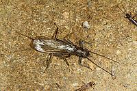 Steinfliege, Kleinköpfiger Uferbold, Perlodes microcephala, Stonefly