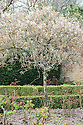 Blossom of Amelanchier lamarckii, late March. Also known as Snowy Mespilus.