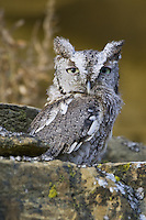 Eastern Screech-owl sitting on a rocky outcrop
