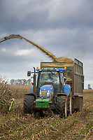 Harvesting forage miaze for anaerobic digestion - November, Lincolnshire
