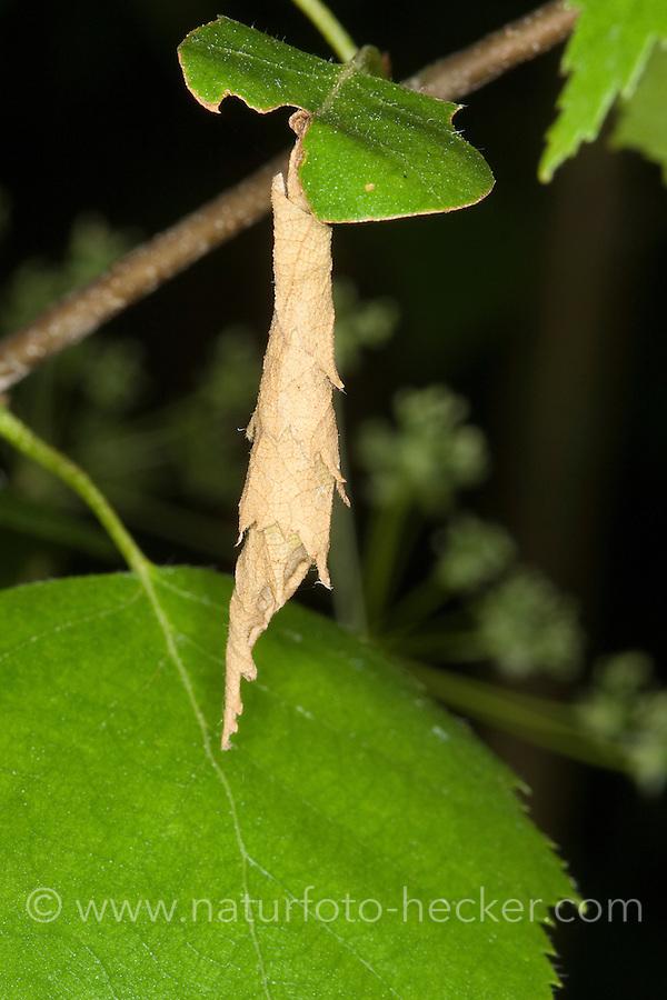 Birkenblattroller, Birkenblatt-Roller, Birken-Blattroller, Trichterwickler, hat ein Birkenblatt zur typischen, zigarrenförmigen Tüte aufgerollt, Deporaus betulae, Birch Leaf Roller