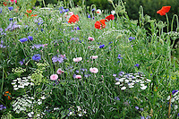 Pictorial Meadow - Candy Mix - Main components: Tickseed, Fairy Toadflax, Field Poppy, Cornflower, Californian Poppy, Corn Marigold, Purple Tansy.