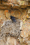 A raven perched in its nest in Yellowstone National Park, Wyoming.