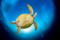 Green sea turtle, Chelonia mydas, Sipadan Island, Sabah, Borneo, Malaysia, Celebes Sea, Pacific Ocean