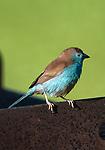Blue-cheeked Cordon Bleu
