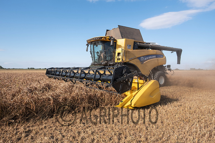 23-9-2021 Harvesting Millet for bird food in the Lincolnshire fens<br /> ©Tim Scrivener Photgrapher 07850 303986<br />      ....Covering Agriculture In The UK....