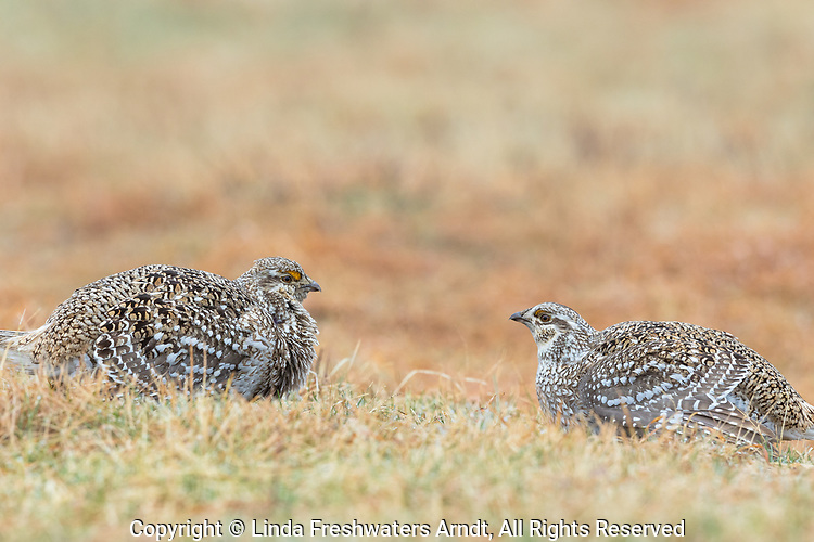 Two sharp-tailed grouse on a lek in Namekagon Barrens.